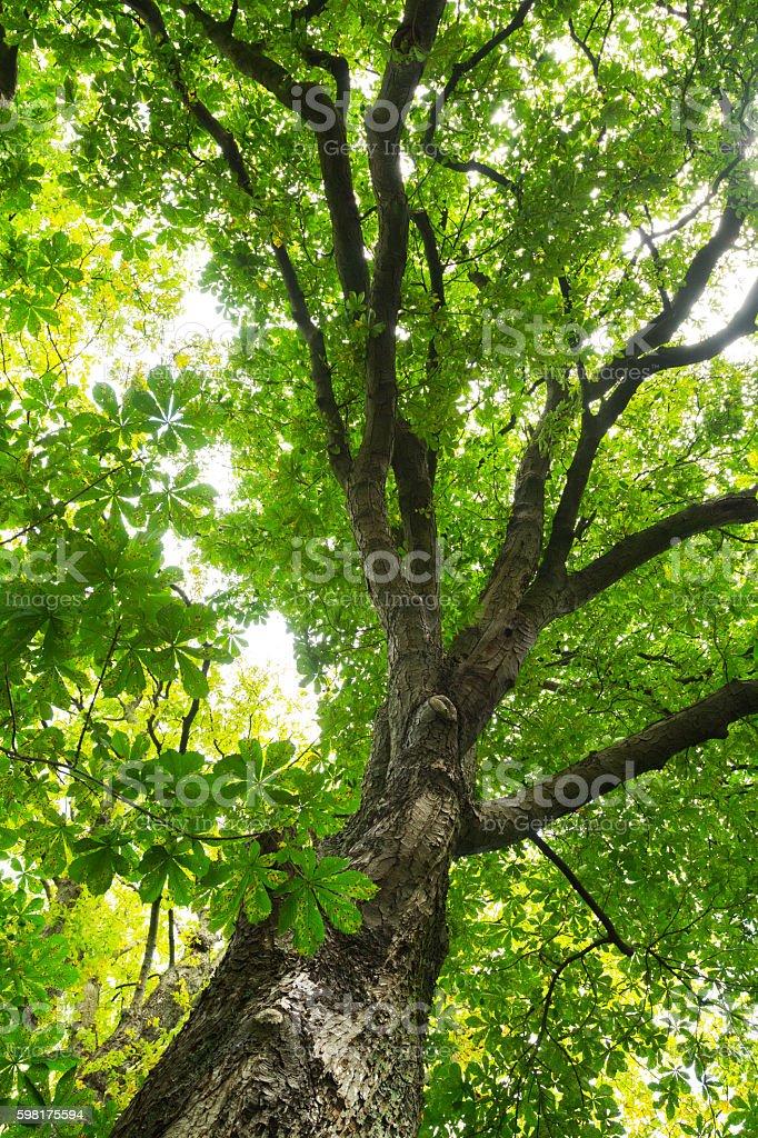 View into Aesculus x neglecta Erythroblastos tree stock photo