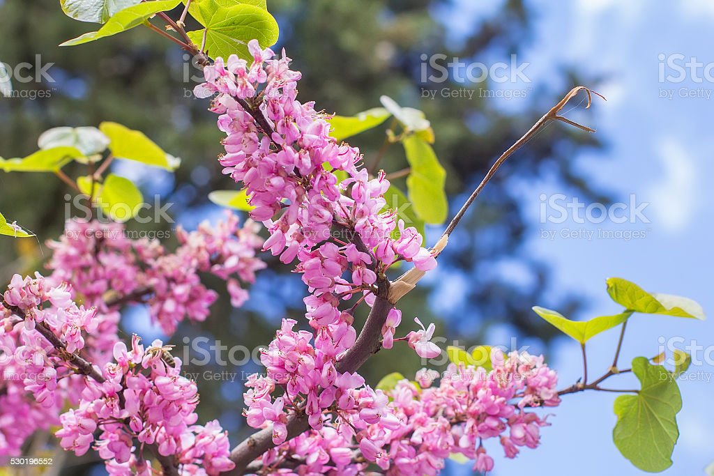 view landscape background blurred bright pink Judas Tree branch stock photo