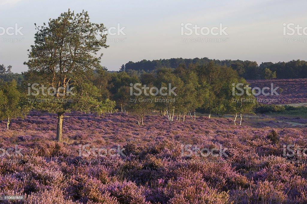 View north across Westleton Heath, Suffolk stock photo