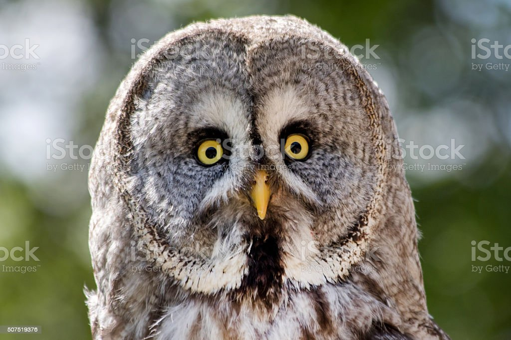 View of a Gray Owl stock photo
