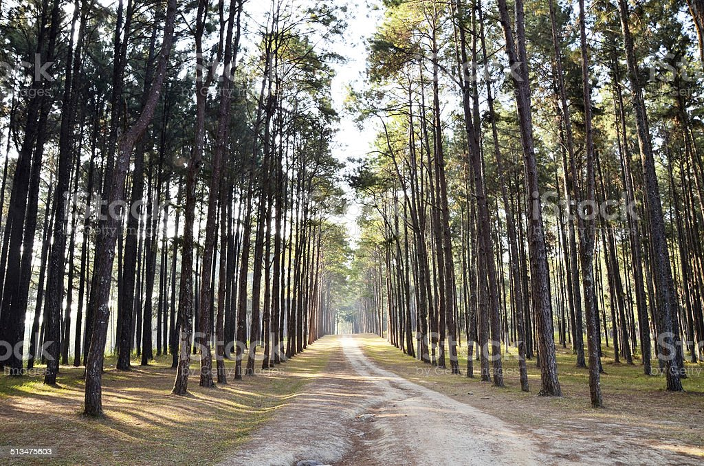 View of a Pine Plantation, Chiang Mai Thailand stock photo