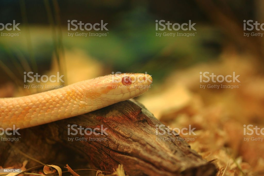 View of a pine woods snake stock photo