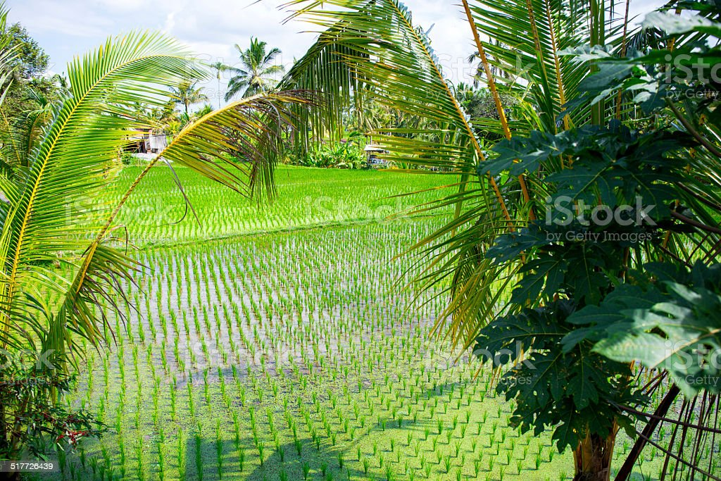 View of a rice field through the palm trees stock photo