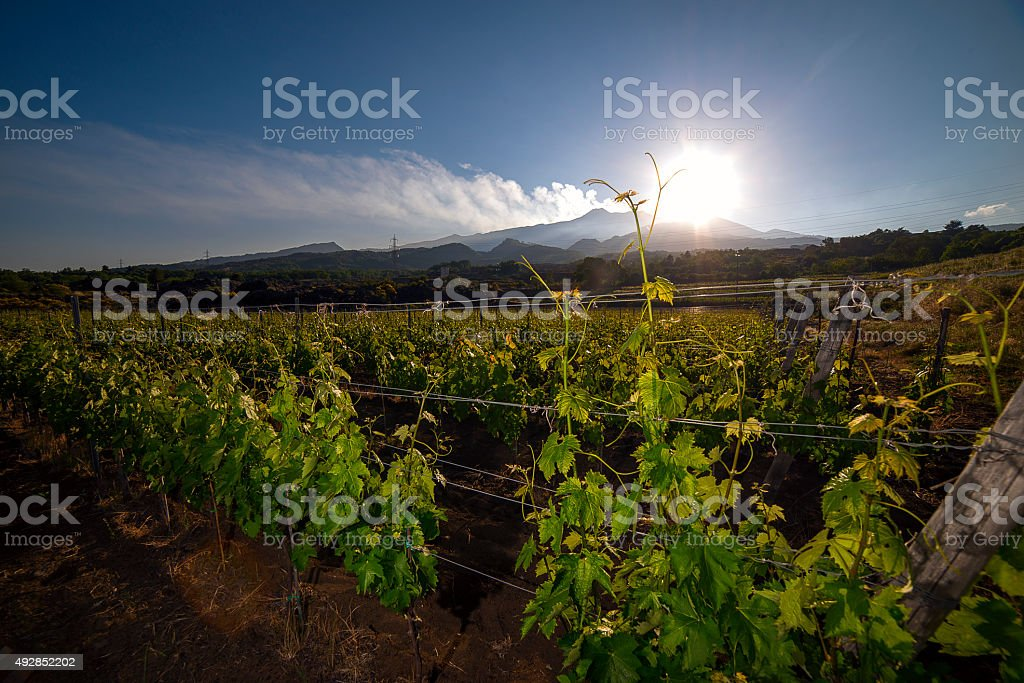 view of a vineyard with Etna volcano in the background stock photo