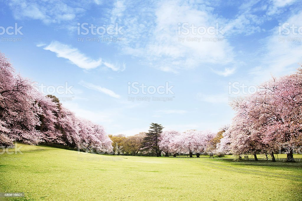 View of beautiful cherry blossoms stock photo