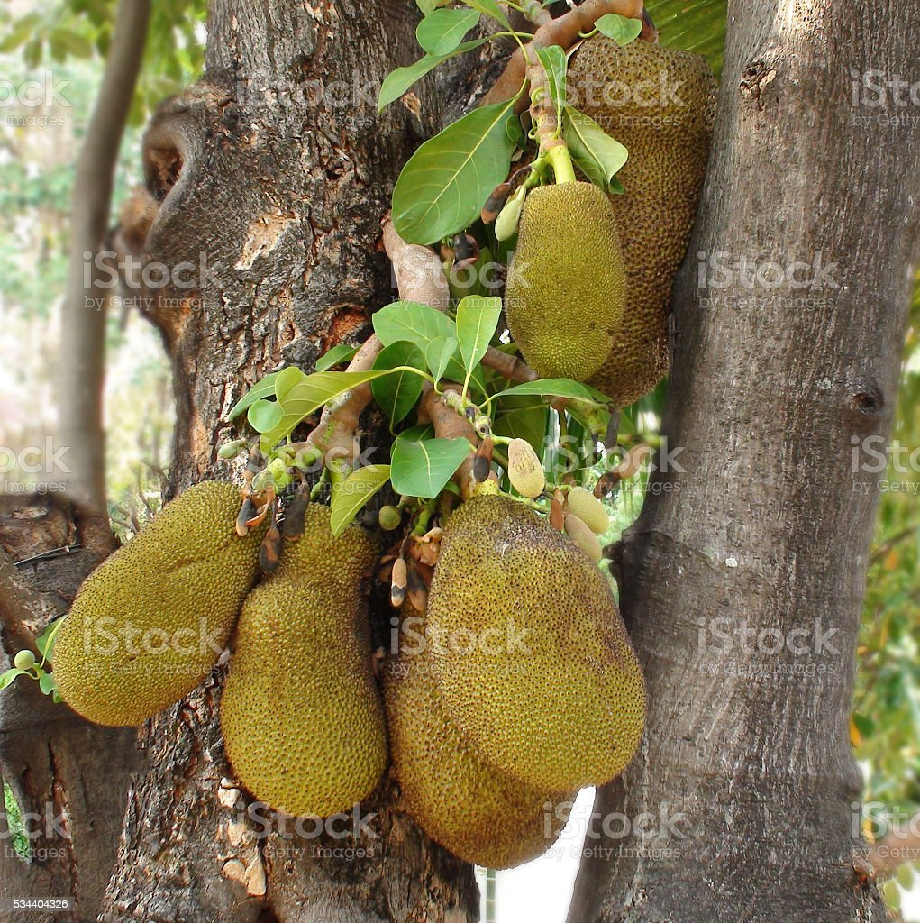 View Of Bunch Of Jackfruit In Bangkok Thailand Southeast Asia stock photo