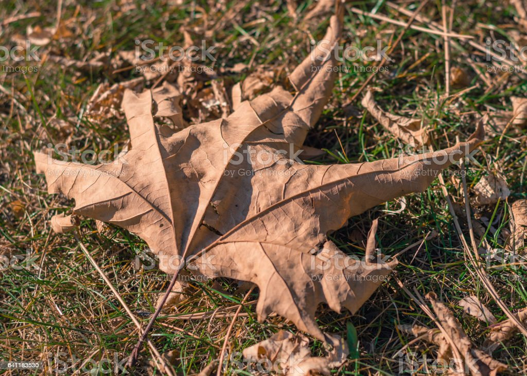 View of dry yellow plane tree leaf stock photo