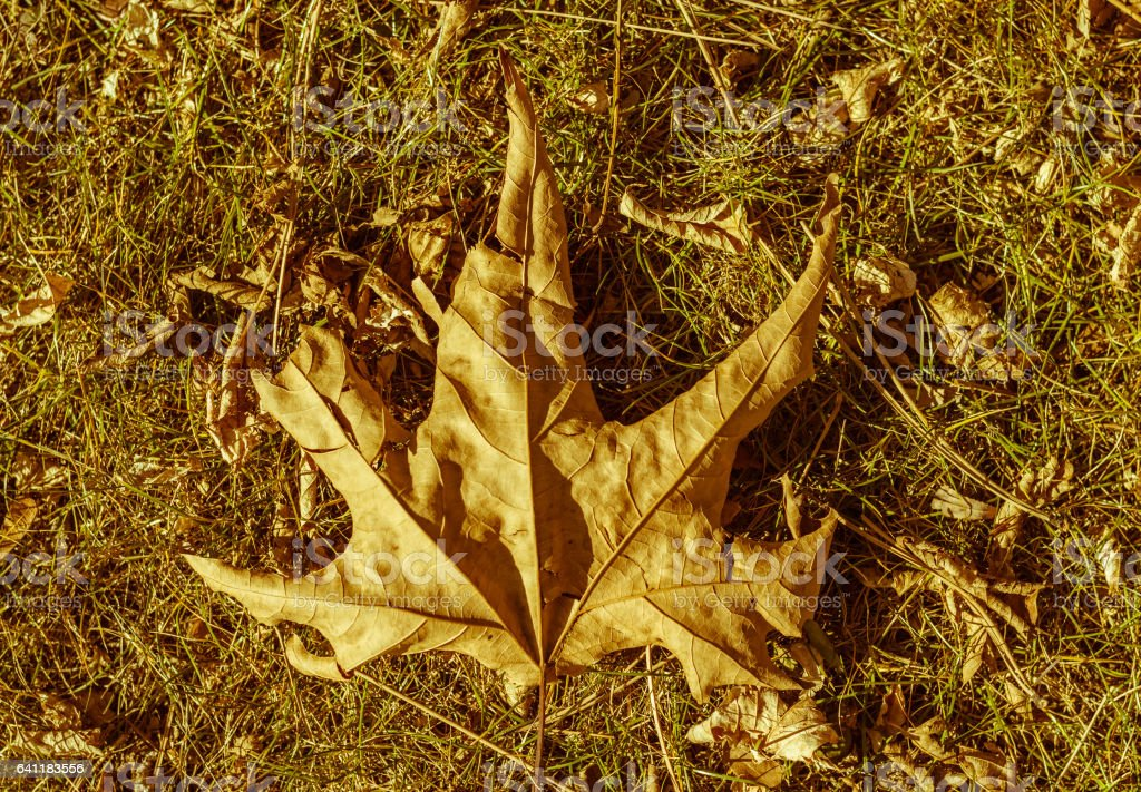View of dry yellow plane tree leaf stock photo