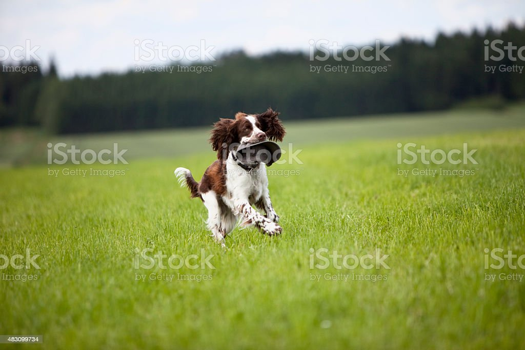 View of English Springer Spaniel running in grass field stock photo