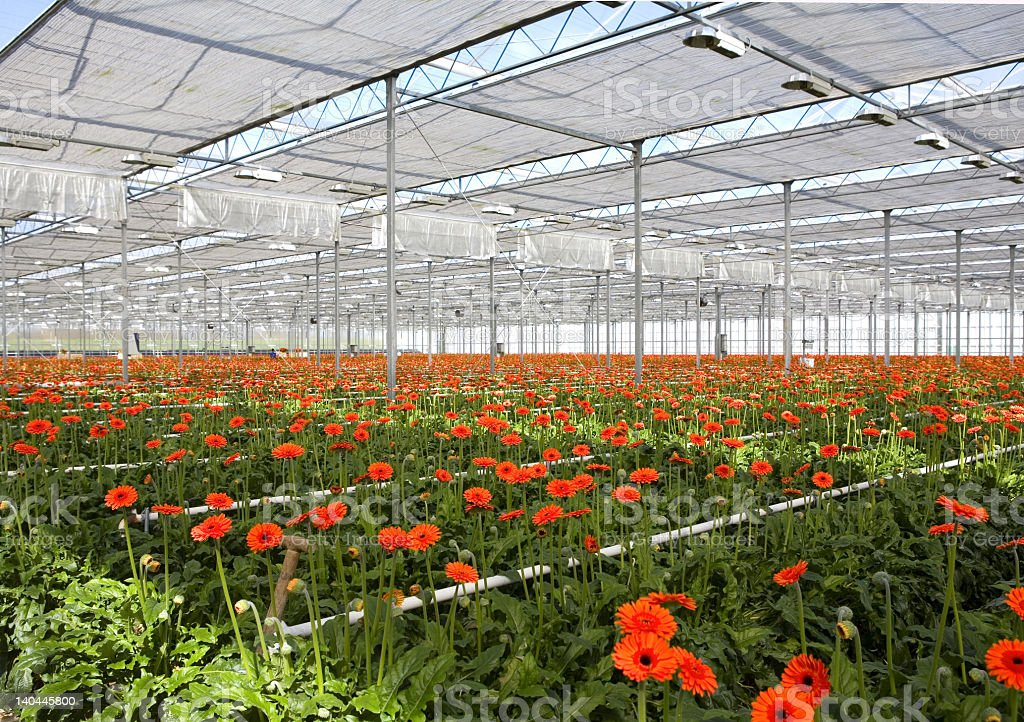 View of gerbera in greenhouse with green grass royalty-free stock photo