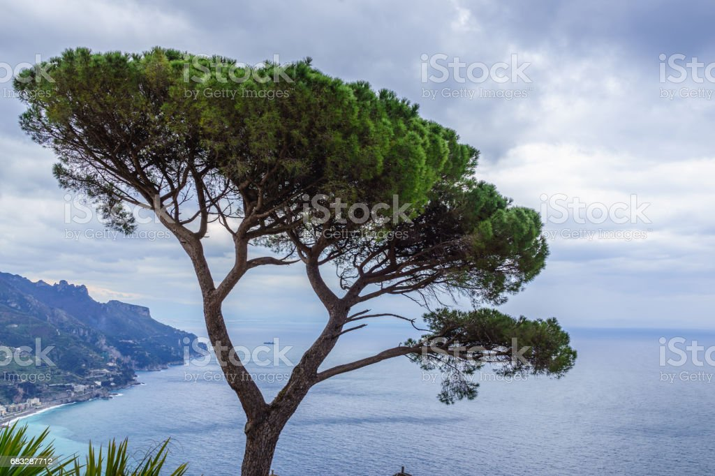 View of green Italian Stone Pine Tree with beautiful blue ocean view, Ravello, southern Italy stock photo