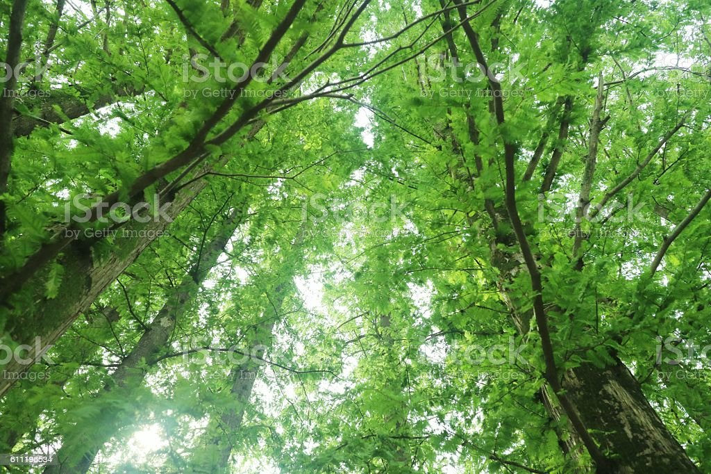 view of high trees from below, blue sky stock photo