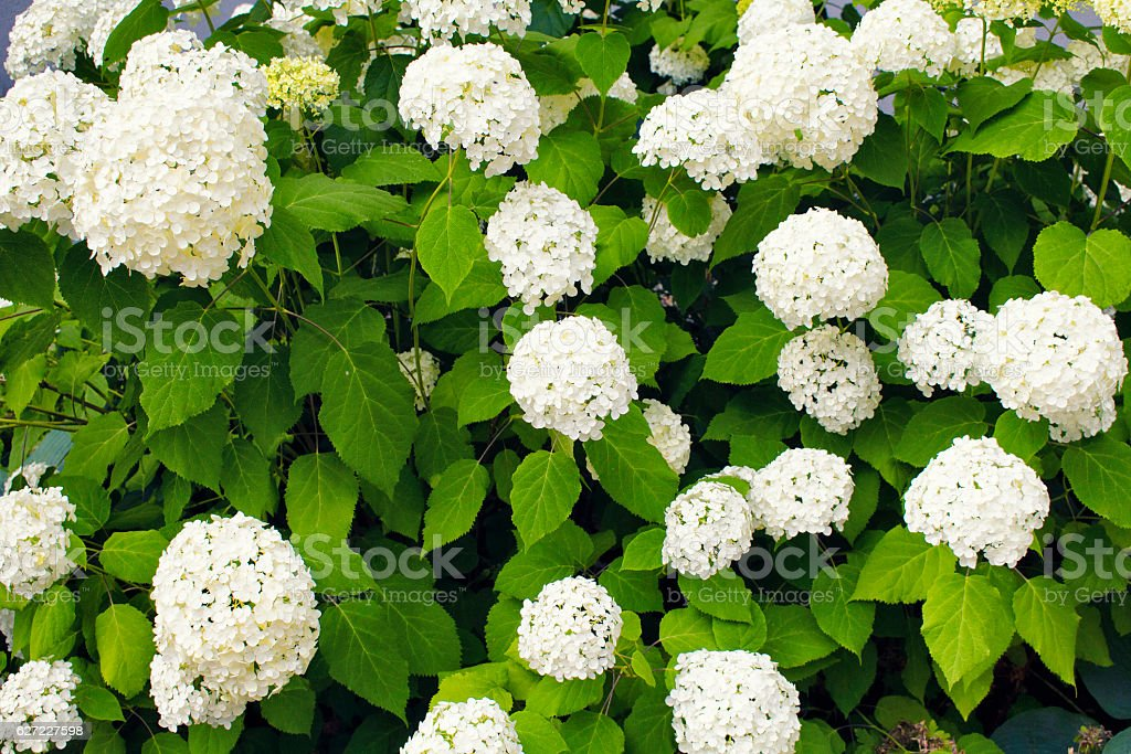View of Hydrangea arborescens 'Annabelle' captured in a garden stock photo