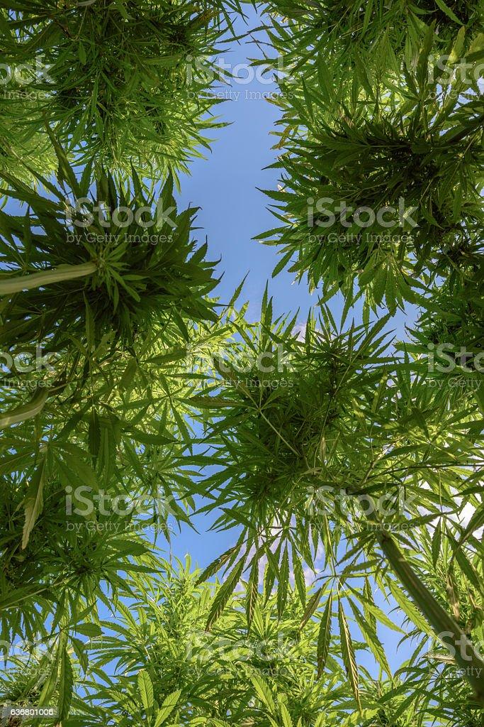 View of marijuana stock photo