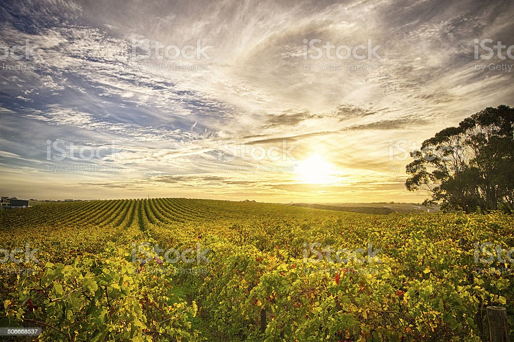 View of McLaren Vale vineyard in the late afternoon stock photo