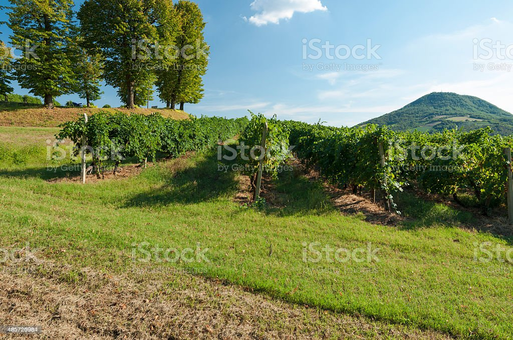 View of Moscato grape vineyards in late summer stock photo