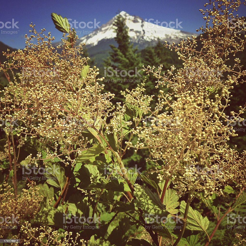 View of Mt. Hood with wildflowers royalty-free stock photo
