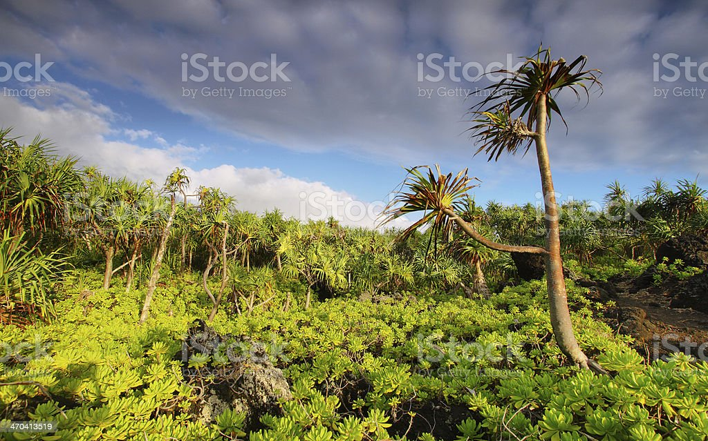 View of palm trees lush vegetation in Waianapanapa State park royalty-free stock photo