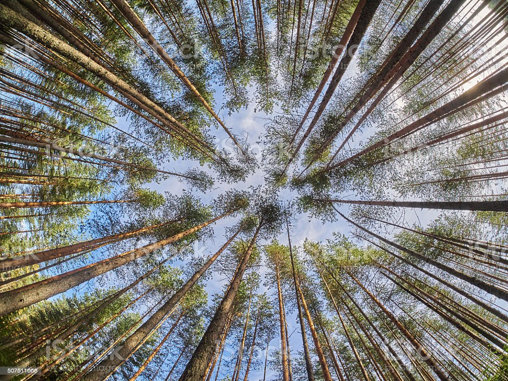 view of pine trees from below stock photo