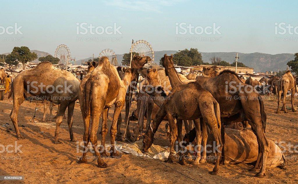 View of Pushkar Camel Fair, Rajasthan, India. stock photo