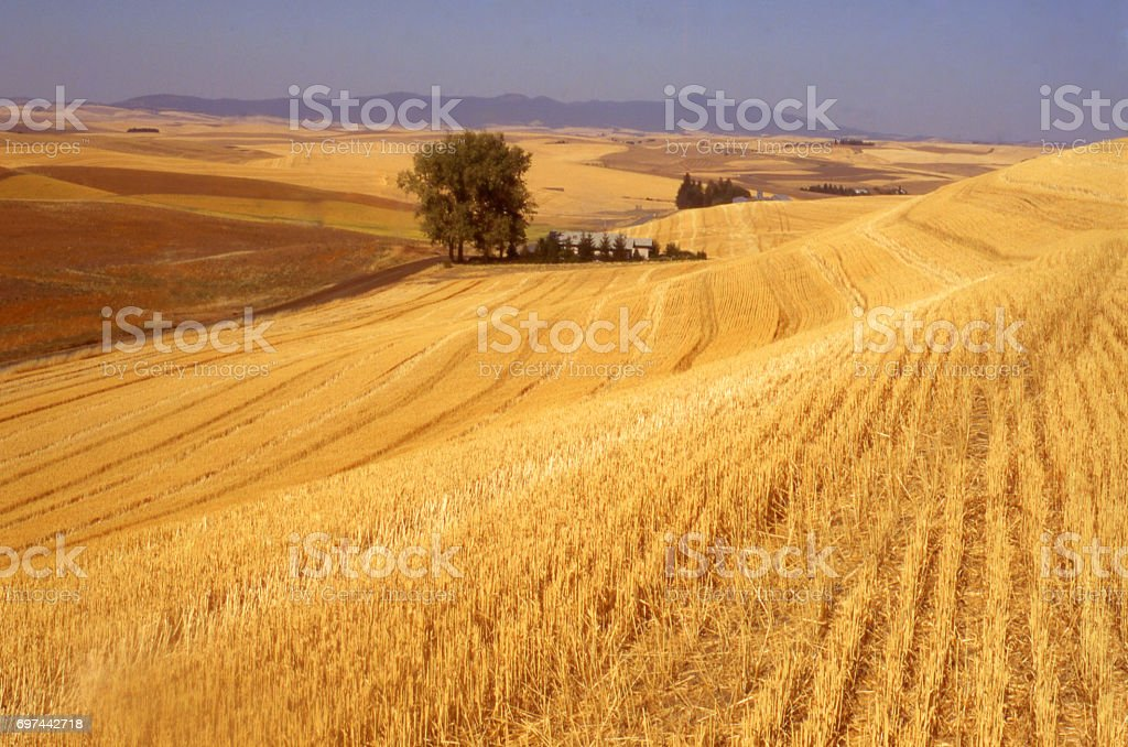View of recently harvested wheat fields in the Palouse region south of Pullman Washington stock photo