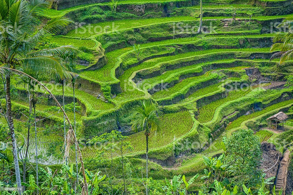 View of rice fields stock photo