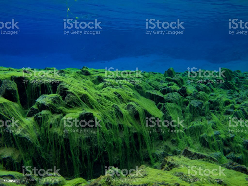 View of Rocky Divide Covered in Green Carpet Algae in Continental Split at Silfra in Shallow Section at Pingvellir National Park 2 stock photo