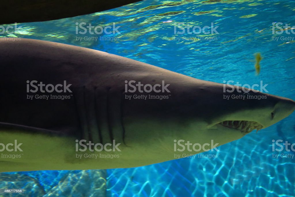 View of sand tiger shark stock photo