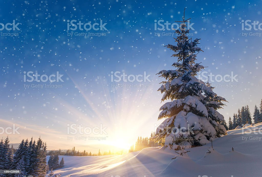 View of snow-covered conifer trees and snowflakes at sunrise. stock photo