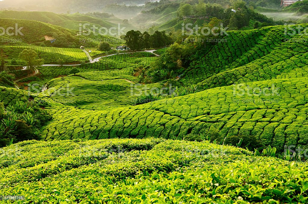 View of Tea Plantation During Morning. Selective Focus stock photo