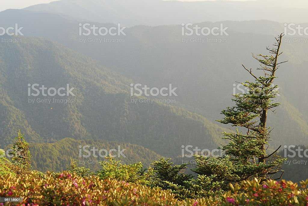 Wind-Shaped tree in Smoky Mountains royalty-free stock photo