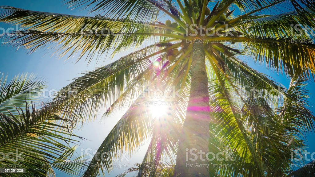 view of the top of a palm tree blue sky sun's rays stock photo