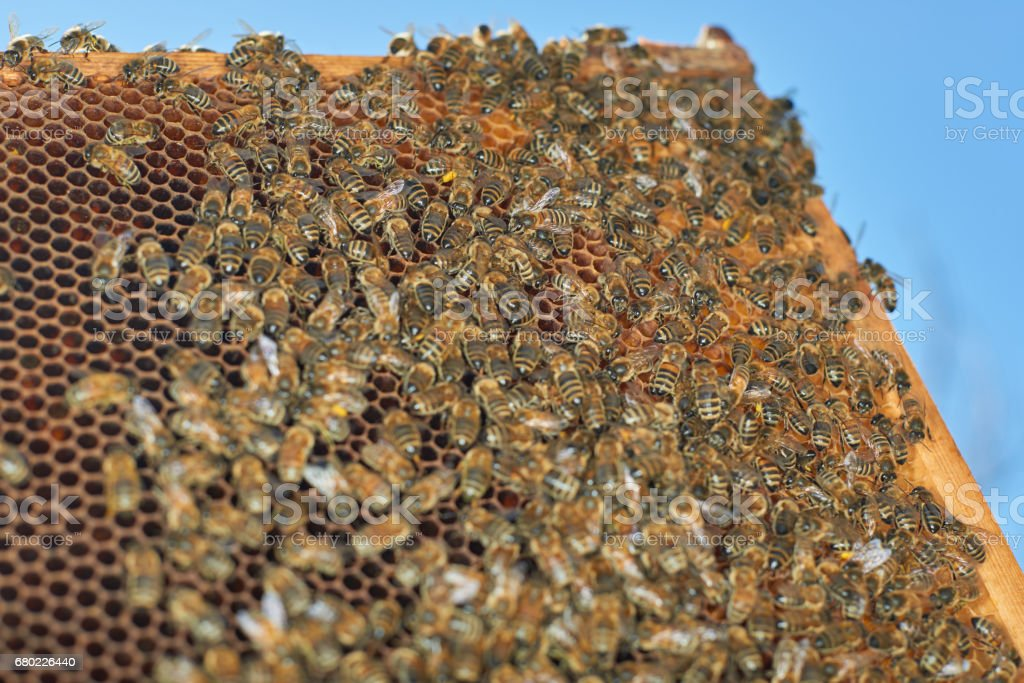 View of the working honey bees on honeycomb stock photo
