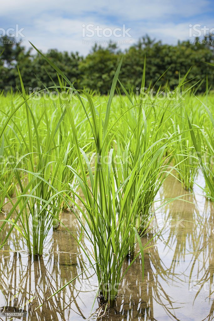 View of Young rice sprout ready to growing royalty-free stock photo