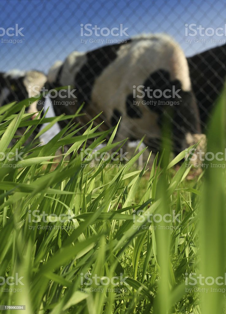 View On a meadow Cows royalty-free stock photo