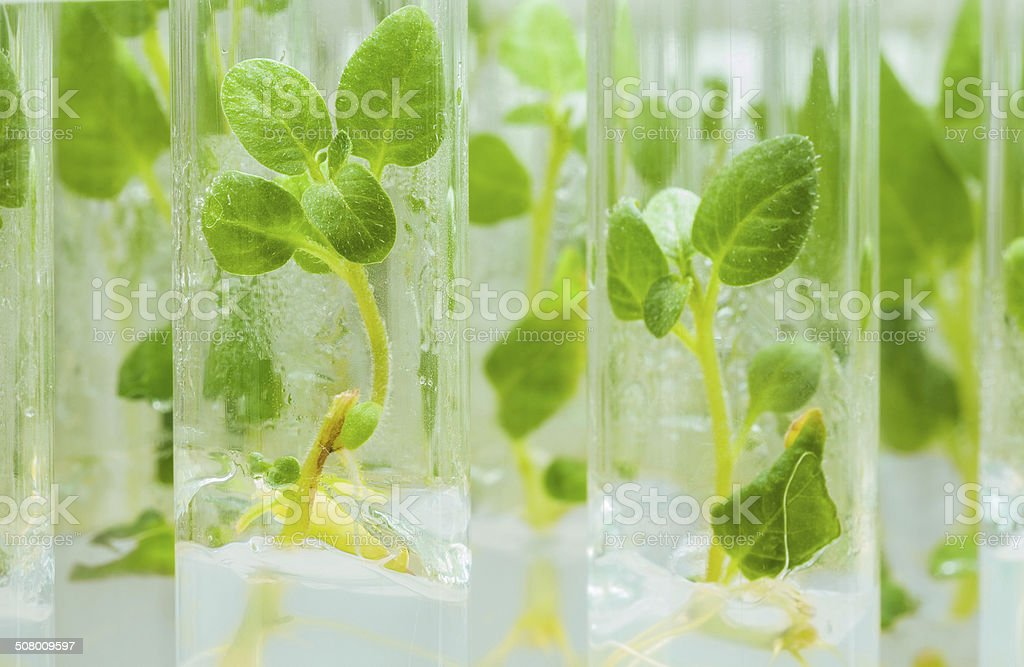 view on litle plants of potato in lab tubes stock photo