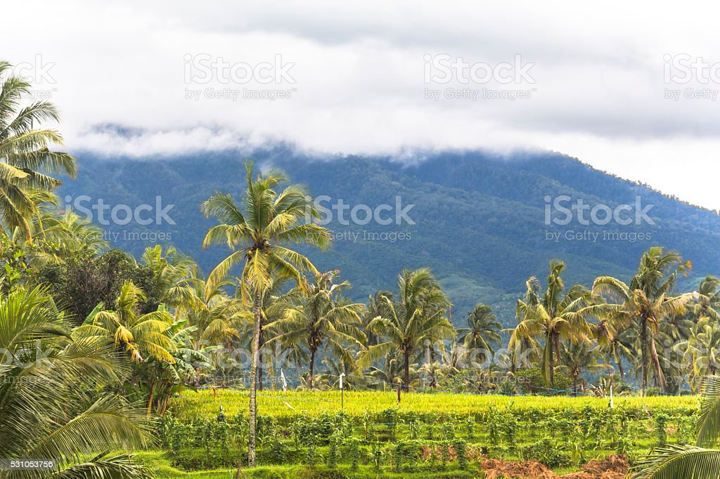 View on rice terraces, Lombok stock photo