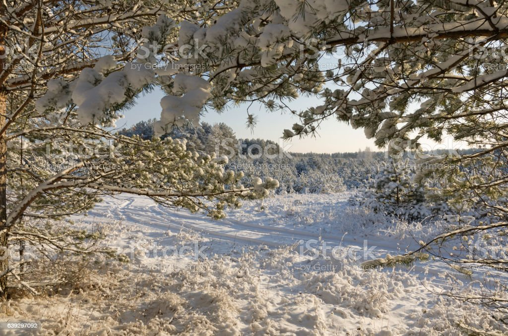 View through fir-tree branches of a snow-covered glade stock photo