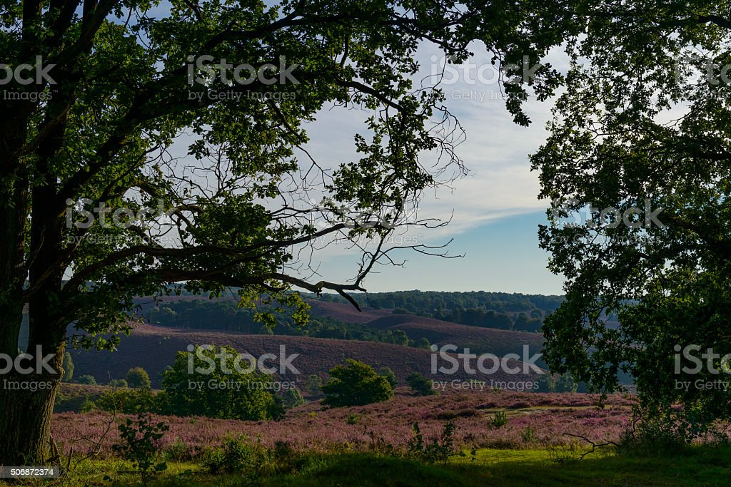 View through trees over blossoming Heather fields stock photo