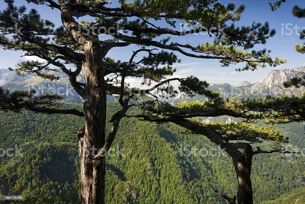 View through treetop of old pine tree royalty-free stock photo