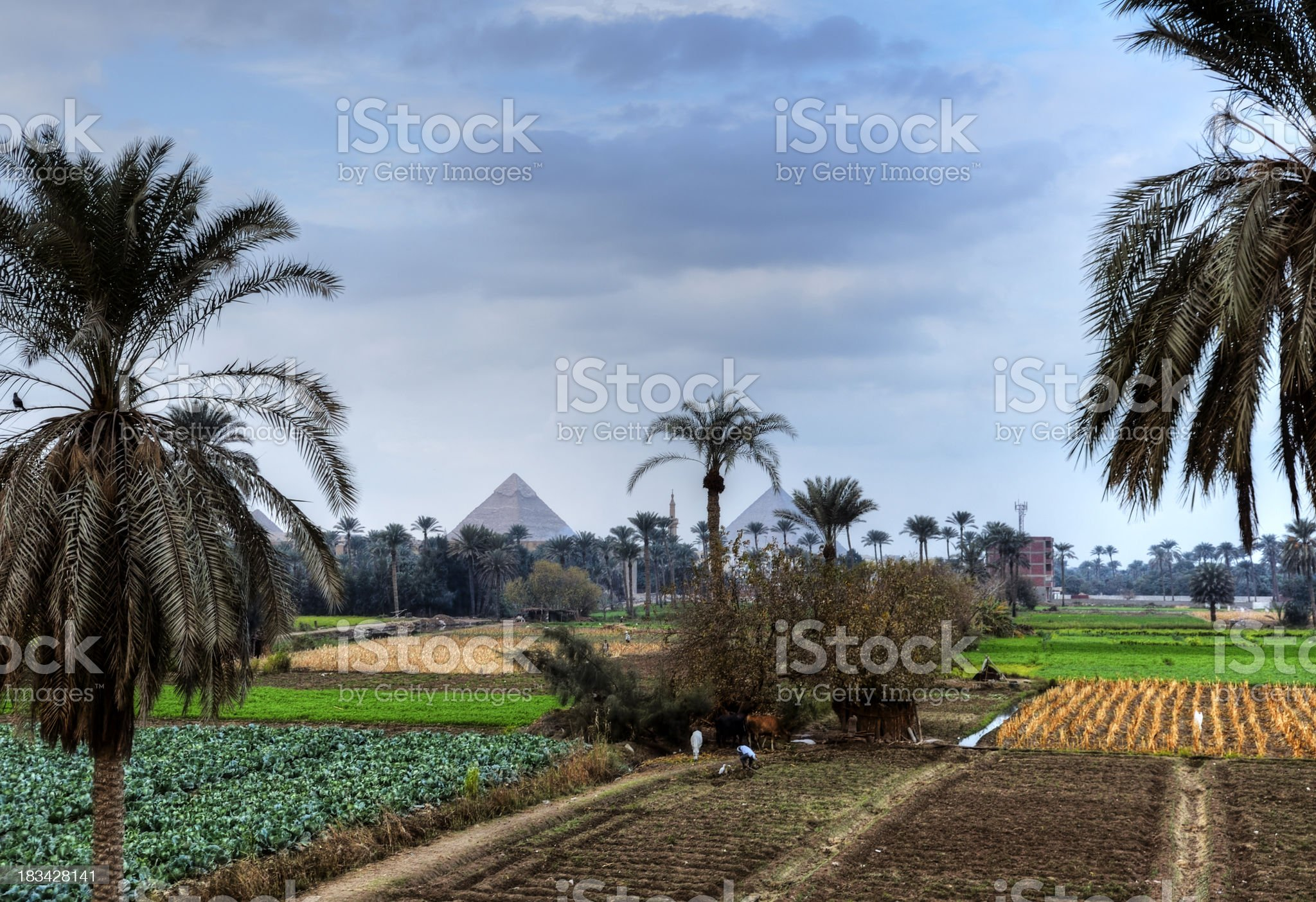 View to the Giza plateau with palmtrees in foreground royalty-free stock photo