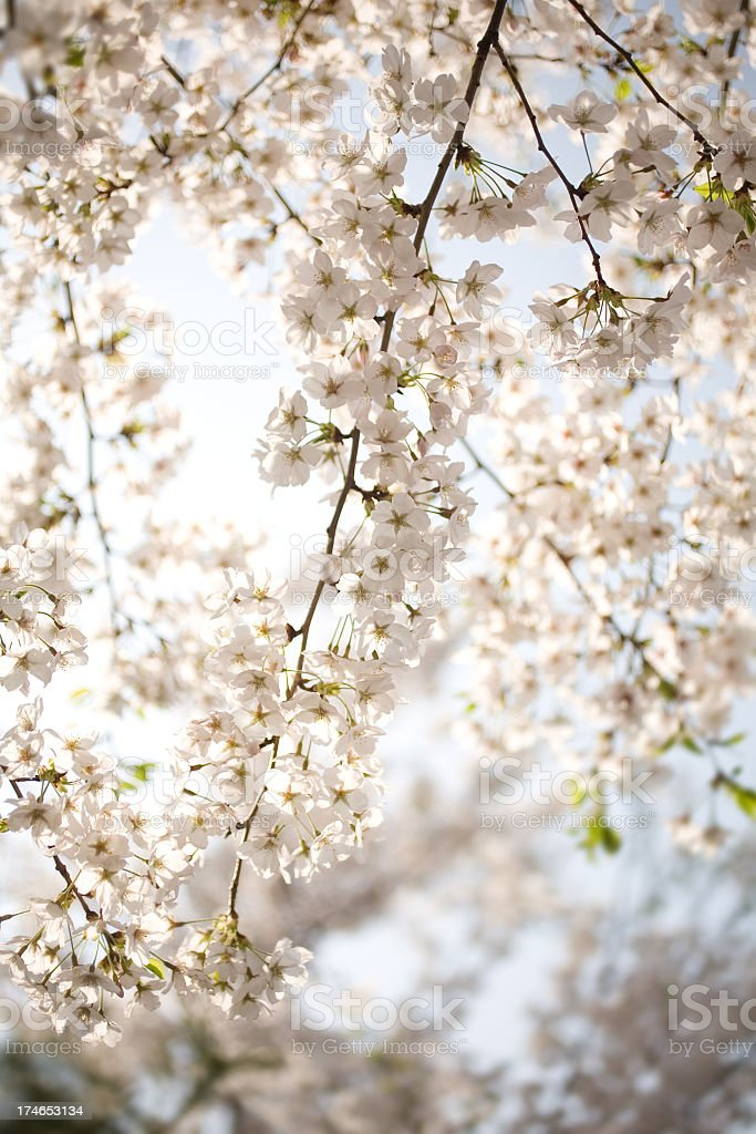A view upwards to some cherry blossom royalty-free stock photo