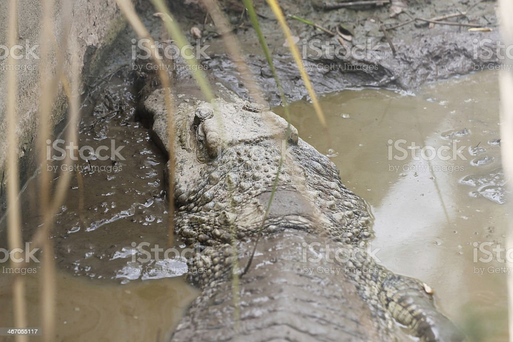Viewed Crocodile from the rear. stock photo