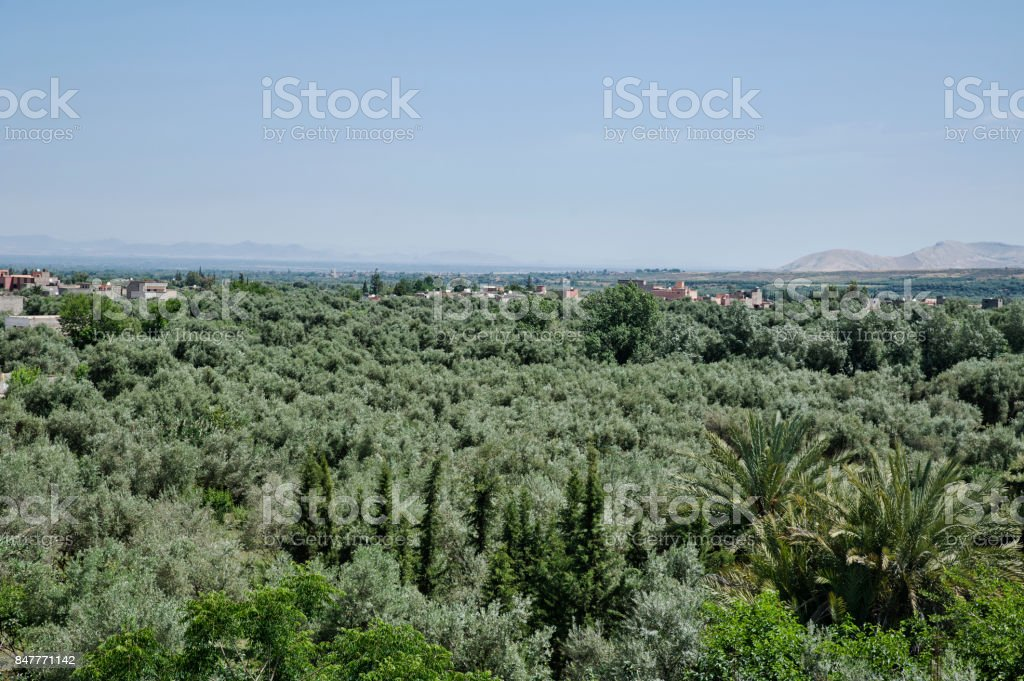 Views of the olive trees plantations in Ourika Valley, near Marrakesh, Morocco stock photo