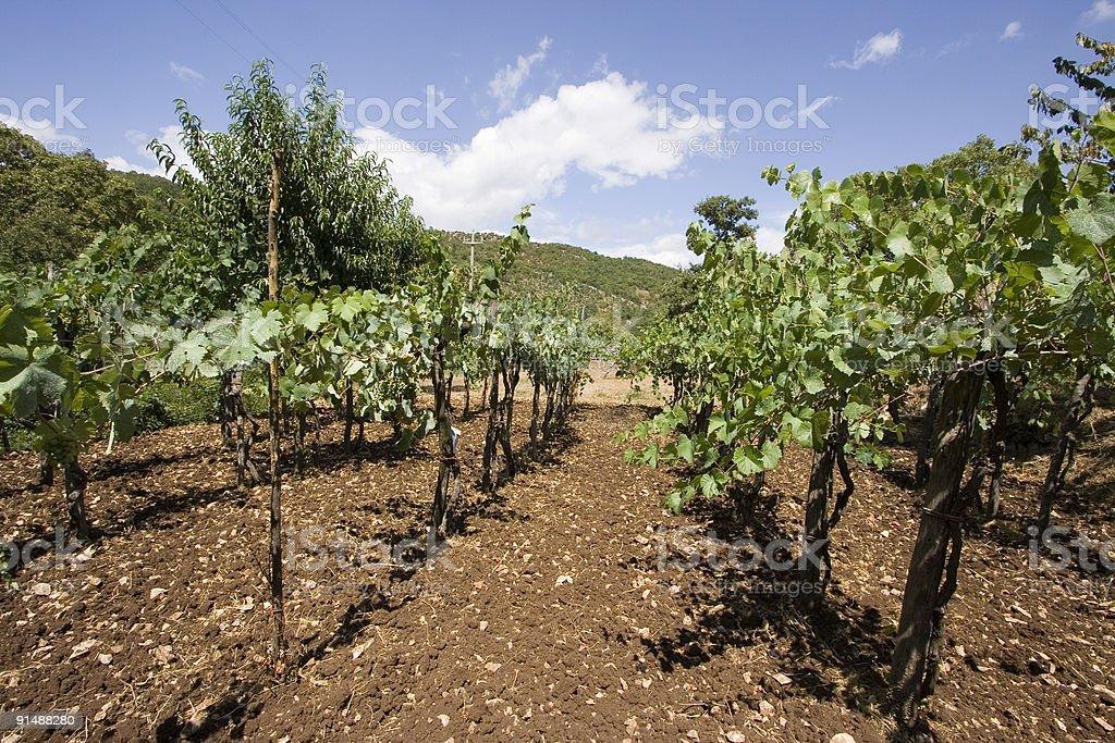 Vignes royalty-free stock photo
