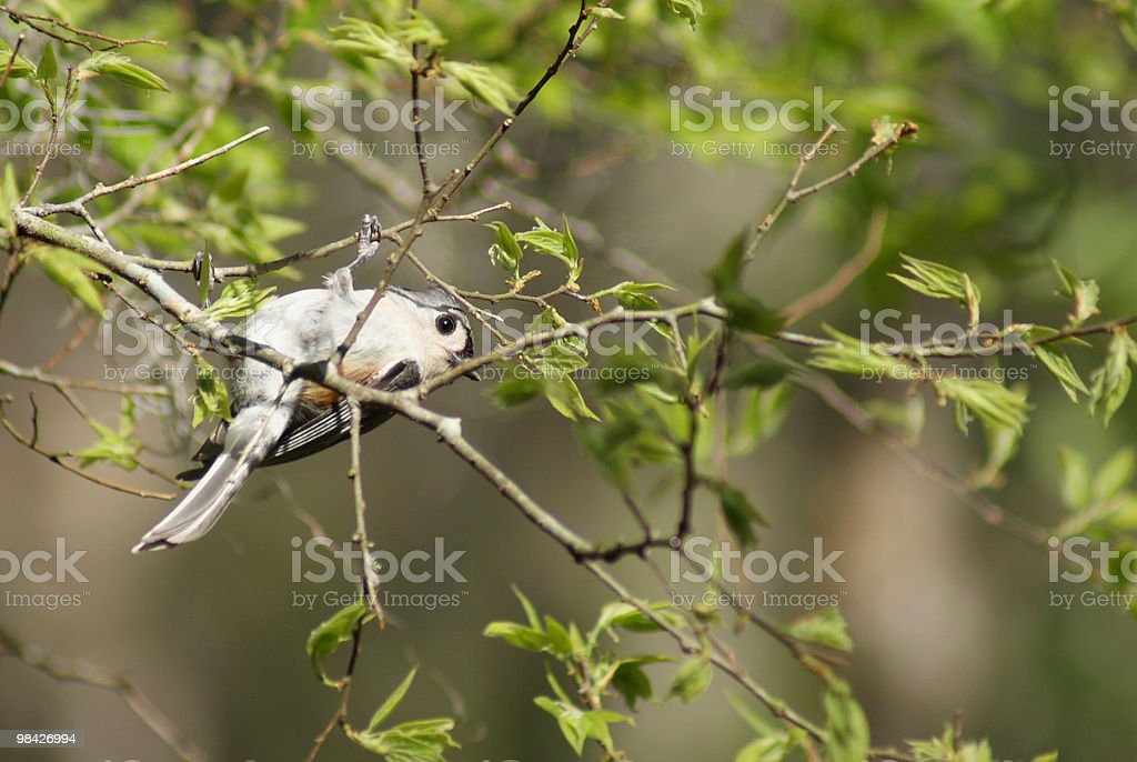 Vigorous Tufted Titmouse perching upside down stock photo