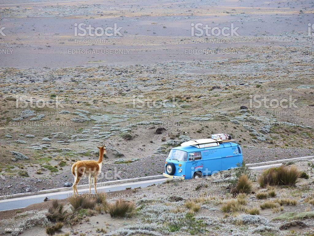 Vikuna looking at VW Bus near CHimborazo, Ecuador stock photo