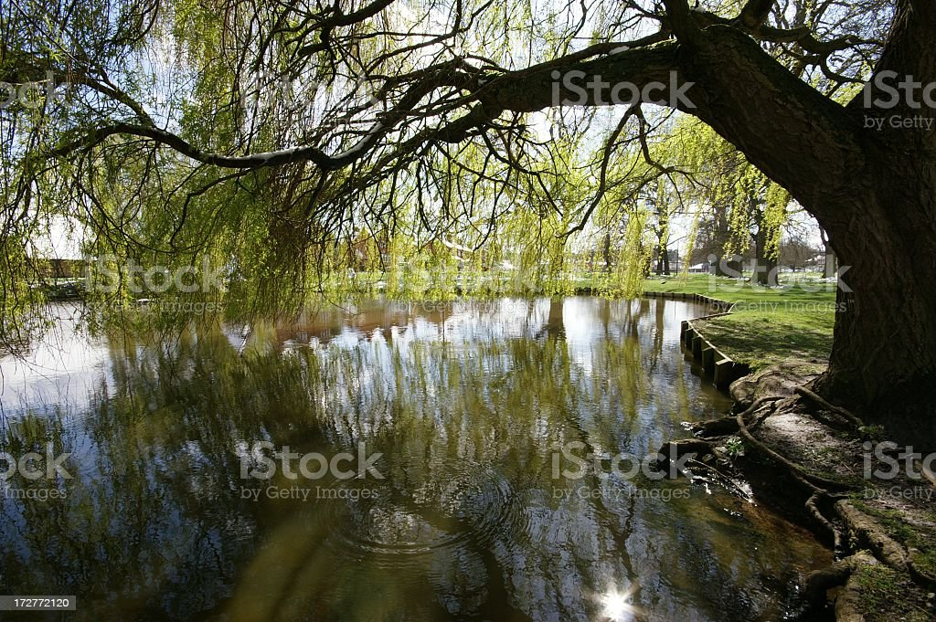 Village Duck Pond Under Willow stock photo