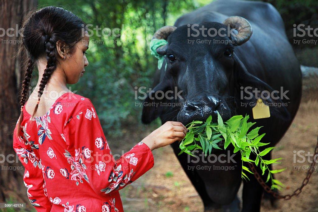 Village Girls Feeding Buffalo stock photo