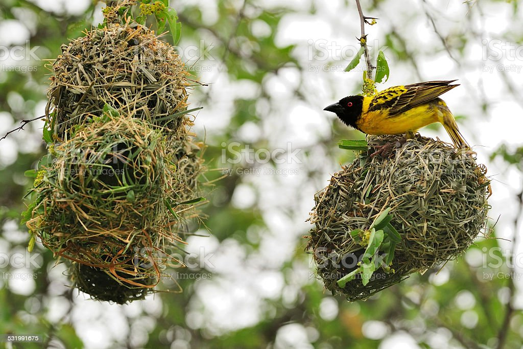 Village weaver buidling its nest stock photo